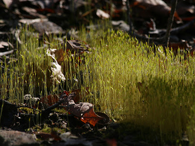 Moss reproductive structures