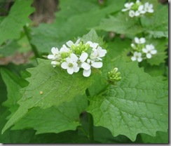 garlic_mustard_flowerhead_small