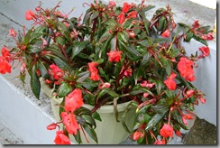rescued new guinea impatiens