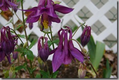 Back Hill Aquilegia (Columbine)