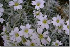 cerastium tomentosum (snow in summer) in full bloom!