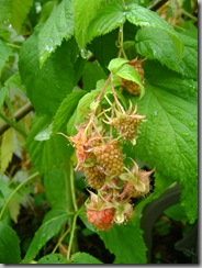 raspberries - bearing and bearing!
