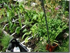 garden aug 09 2009-08-09 053