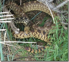 large Bull Snake in mid-hiss
