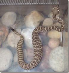 juvenile Western Rattlesnake