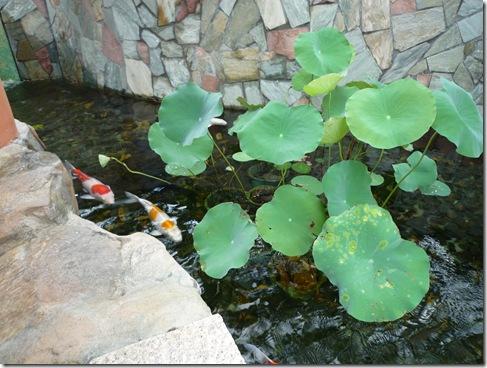 My 3 ponds plants for koi pond lotus for Koi pond plants