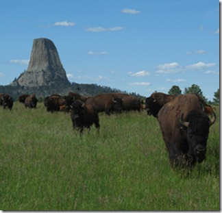 Bison_Devils_Tower