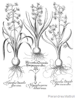 Ideas in Bloom: What's Blooming? {Hyacinth}