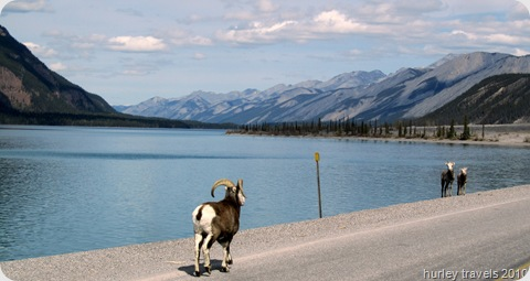 Stone sheep on the roadway at Muncho Lake