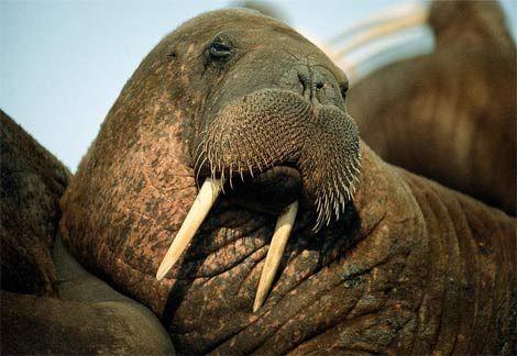 walrus-portrait.jpg