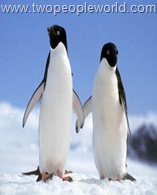 adelie_penguins1