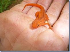 salamander02