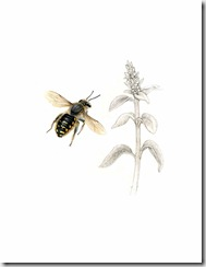 Woolcarder Bee