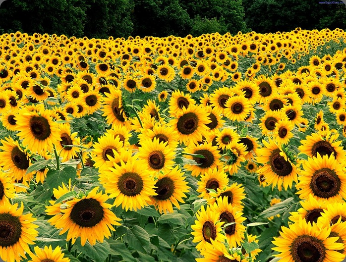 Field_of_Sunflowers_Kentucky