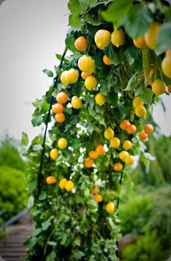 archway-decorated-with-citrus-Oregon-Gardens-Françoise-Weeks