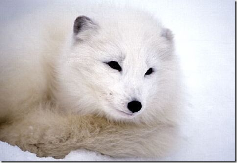 Arctic_Fox_Photo_1