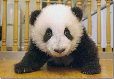 baby_panda (15)
