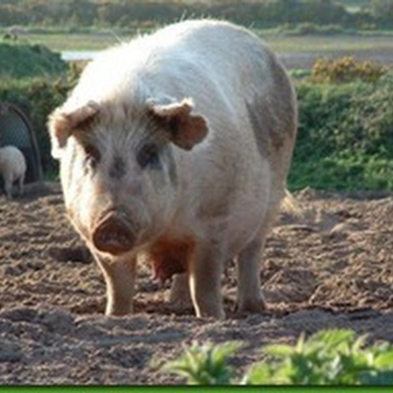 PENIPUAN : Mana ada babi!