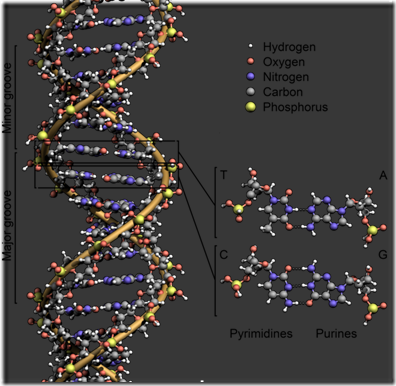 615px-DNA_Structure Key Labelled