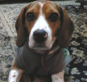 m_beagle perdido surco.jpg