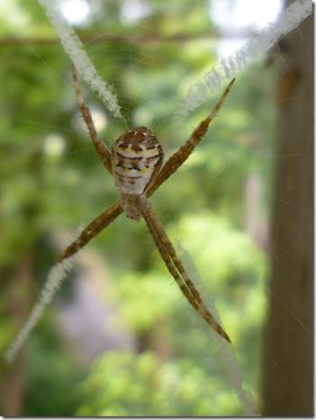 31 spider