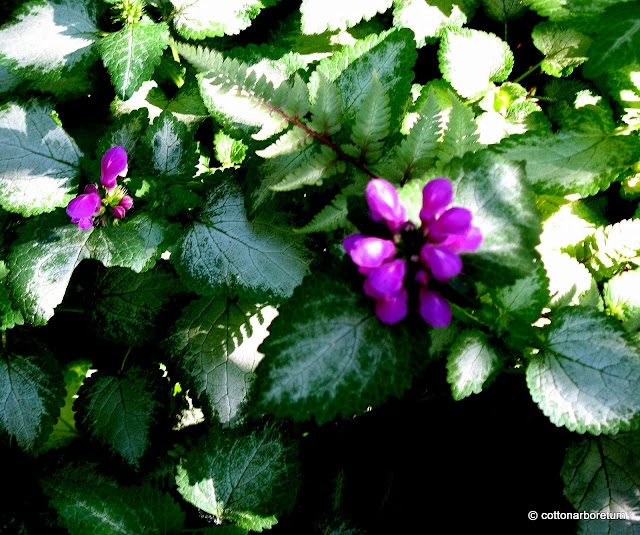 Lamium