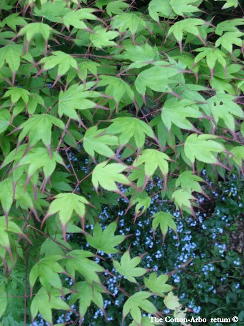 Acer palmatum Tsuma gaki, forget me nots