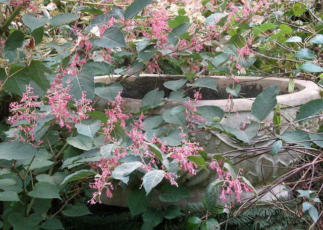 persicaria crimson beauty in October