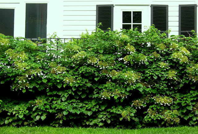 A living fence  of cllimbing hydrangea covering the foundation and railing of Bunny Williams' front porch