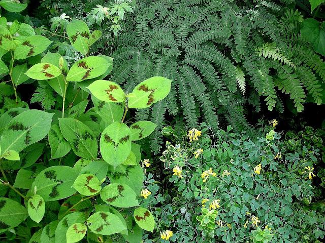 Persicaria Lance Corporal, Maidenhair Fern, Corydalis Lutea