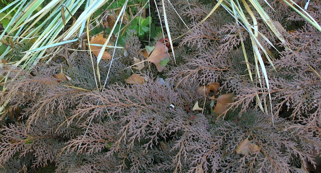 Chamaecyparis Nana lutea, Lymus glauca, Microbiota decussata