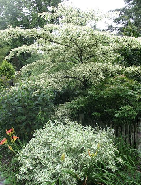 Cornus alternifolia aureomarginata, Cornus alba Ivory Halo