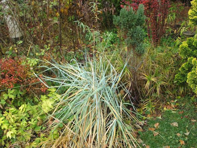 berberis crimson pygmy, filipendula aurea, blue lyme grass in Oct.