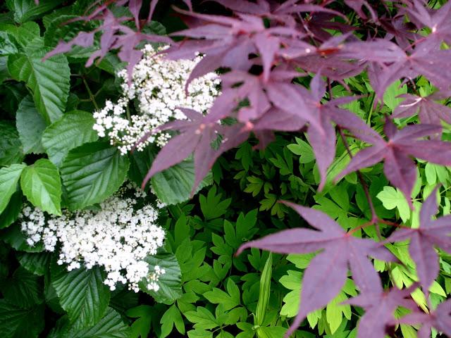 Viburnum Allegheny, Dicentra aurea, Acer Palmatum Nuresagi