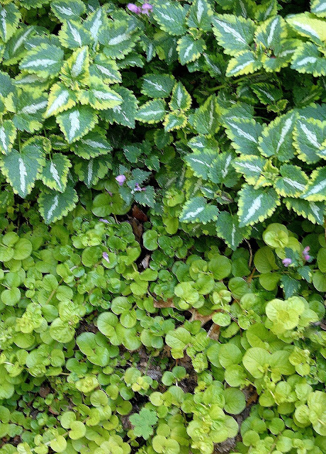 Lamium above, Lysimachia Numularia Aurea(Creeping Jenny) below