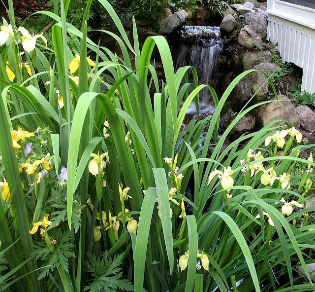 Iris      bastardii and laevigata, Screen porch waterfall