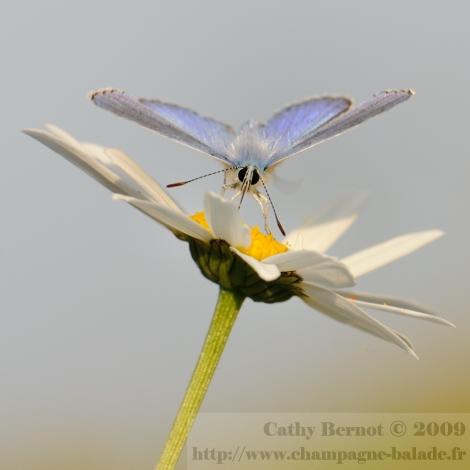 Un petit papillon bleu (lycène azuré) qui butine une fleur de marguerite. macrophotographie