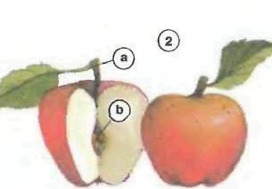 apple slem core <!  :en  >Fruits<!  :  > things english through pictures english through pictures