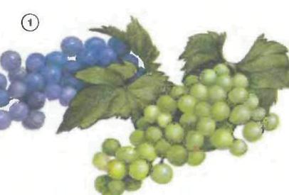 %28a%20bunch%20of%29%20grapes <!  :en  >Fruits<!  :  > things english through pictures english through pictures