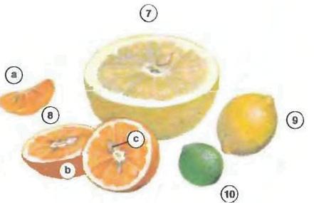 grapefruit orange <!  :en  >Fruits<!  :  > things english through pictures english through pictures