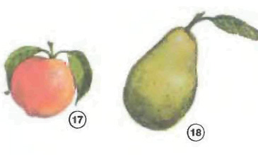 nectarine pear <!  :en  >Fruits<!  :  > things english through pictures english through pictures