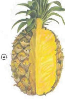 pineapple <!  :en  >Fruits<!  :  > things english through pictures english through pictures