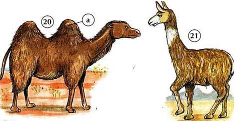 20. camel  a. hump  21. llama
