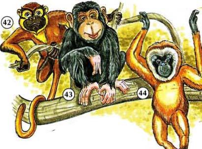 42. monkey  43. chimpanzee  44. gibbon
