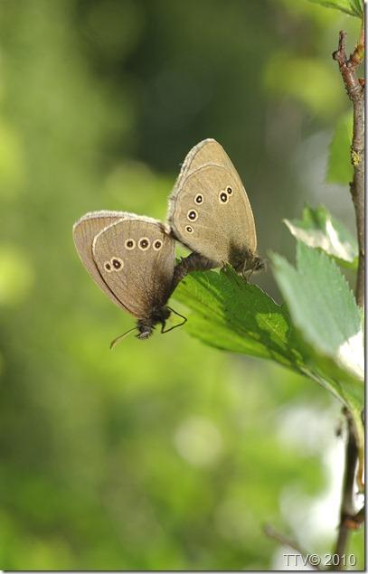 perhosia   058
