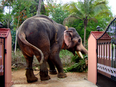 Jumbo Tusker Elephants of Kerala