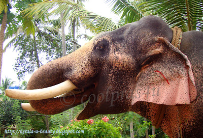 Close up shot of an Indian Tusker Elephant...