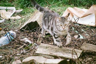 cat photo, 7 month old kitten Tabitha