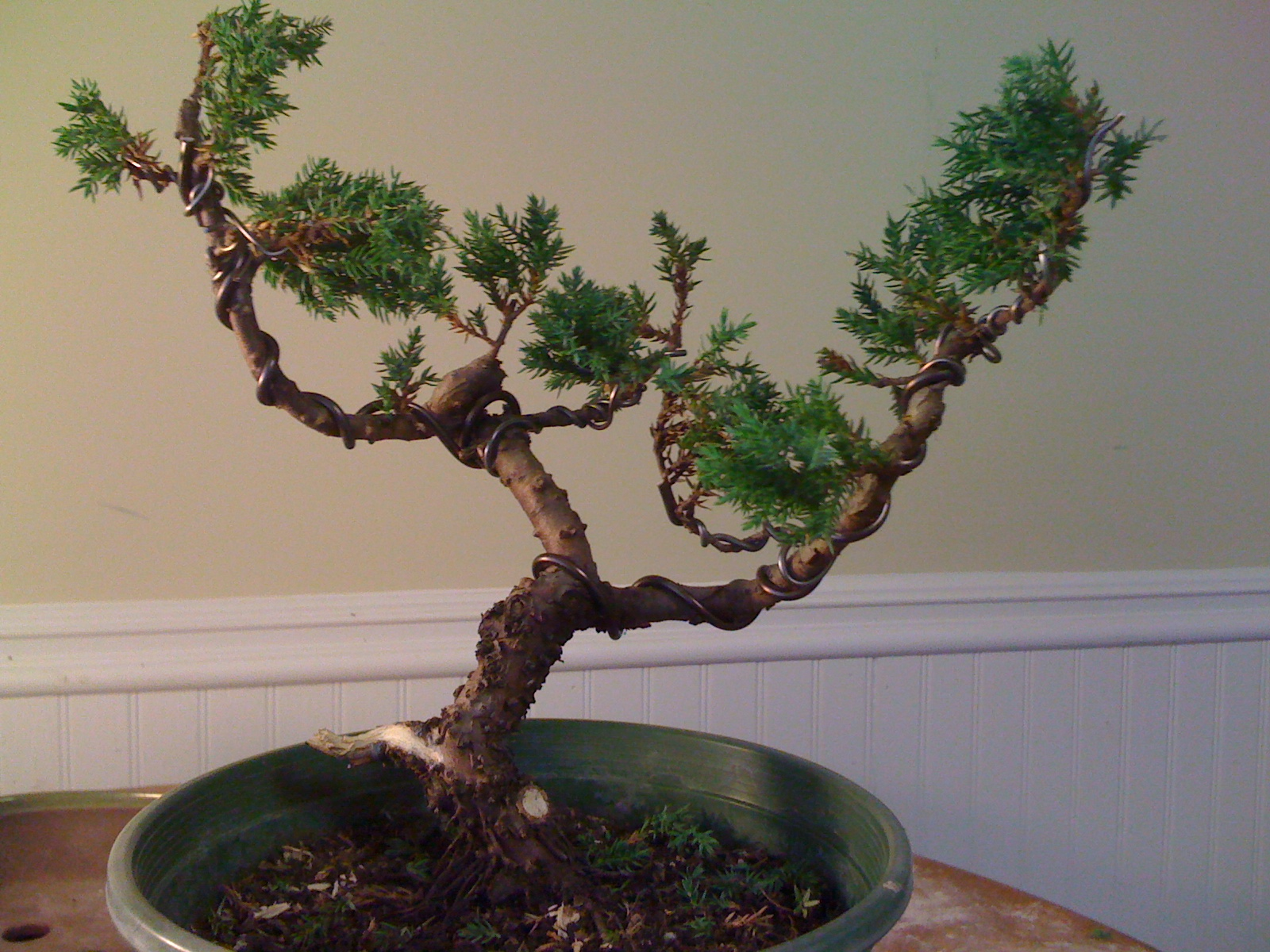 Bodhisattva Bonsai 2 Friends 2 Trees Part 2 Of Juniper Bonsai