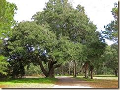 Big Live Oak